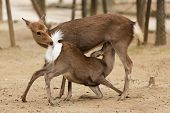 picture of indecent  - two deers in indecent sexual position in Nara park - JPG