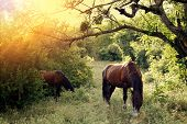Wild Brown Horses Graze In The Thicket Of The Forest At Sunset. Two Mares Calmly Walk In The Forest  poster