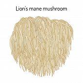 Lion S Mane Mushroom Hericium Erinaceus , Edible And Medicinal Plant. Hand Drawn Botanical Vector Il poster