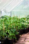 stock photo of tomato plant  - Garden greenhouse with tomato plants in pots on brick floor - JPG