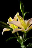 stock photo of stargazer-lilies  - white stargazer lily flower on black background - JPG