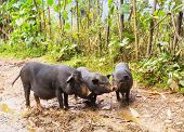 stock photo of pot bellied pig  - vietnamese pig - JPG
