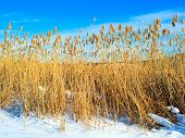 Dry Reed On Snow