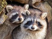 picture of raccoon  - Adult raccoon at his nest Leeuwarden Holland - JPG