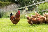 stock photo of cockerels  - Chickens on a lawn with a cockerel pecking at the grass - JPG