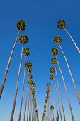 image of washingtonia  - LA Los Angeles palm trees in a row typical California Washingtonia filifera - JPG