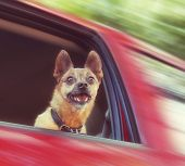 stock photo of chihuahua mix  - small chihuahua mix in a red vehicle - JPG