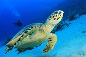 image of hawksbill turtle  - Sea Turtle and Scuba Diver - JPG