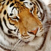 foto of tigress  - Portrait of a big siberian tiger  - JPG