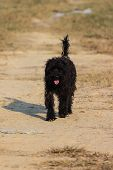 stock photo of cockapoo  - Black Shaggy Dog In Dry Lawn , walk