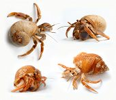 stock photo of hermit  - Set of Hermit Crabs from Caribbean Sea isolated on white background - JPG