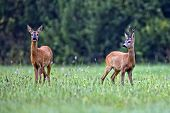 picture of buck  - Buck deer with roe - JPG