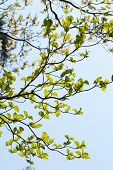 foto of dogwood  - Leaves of dogwood  - JPG