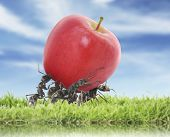 foto of working animal  - team of ants carry red apple - JPG
