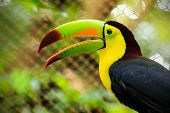 pic of rainforest animal  - Closeup of colorful toucan bird somewhere in Mexico - JPG