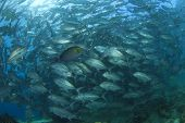 foto of bigeye  - School of Bigeye Trevally Fish - JPG