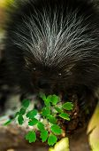 picture of nocturnal animal  - Baby Porcupine  - JPG