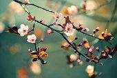 stock photo of sakura  - Beautiful flowering Japanese cherry  - JPG