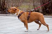 foto of staffordshire-terrier  - A Staffordshire terrier for a walk outdoors - JPG