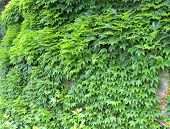 image of creeper  - Wall of twisted Green Ivy - JPG