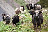stock photo of yaks  - Group of Yaks  - JPG