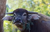 stock photo of terrestrial animal  - Terrestrial Animal Thailand water buffalo looking at camera close up - JPG