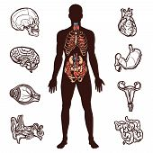 stock photo of internal organs  - Anatomy set with sketch internal organs and human figure isolated vector illustration - JPG