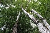 stock photo of birching  - Birch trees with green leaves in the forest in summer - JPG