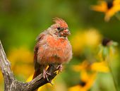 pic of cardinals  - A young male Northern Cardinal is looking pretty shabby as it goes through a late summer molt - JPG