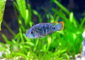 stock photo of dwarf  - Aquarium Fish dwarf Cichlid in a water - JPG