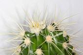foto of cactus  - Echinocactus grusonii - JPG