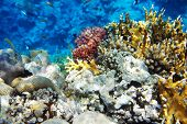 image of damselfish  - Underwater fish from Red Sea. Beatu word ** Note: Visible grain at 100%, best at smaller sizes - JPG