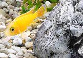 picture of dwarf  - Aquarium Fish dwarf Cichlid - JPG