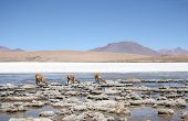 stock photo of lamas  - Vicunas or wild lamas in Atacama Desert - JPG
