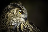 stock photo of owl eyes  - A portrait of royal owl with big orange eyes - JPG