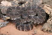 picture of southern  - Portrait of a Southern Pacific Rattlesnake  - JPG