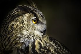 pic of owl eyes  - A portrait of royal owl with big orange eyes - JPG