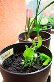 stock photo of pot plant  - Plant pots with sorrel and herbs planting plant pots - JPG