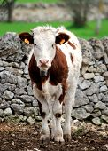 stock photo of calves  - calves cow in rearing livestock of farm apulia - JPG