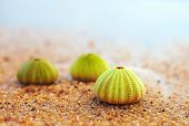 stock photo of echinoderms  - group of green sea urchin shells on sandy beach - JPG