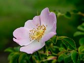 picture of wild-brier  - Wild Rose  - JPG