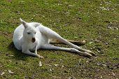 stock photo of albinos  - White Albino Australian Western Grey Kangaroo in Natural Setting - JPG