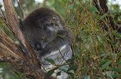 picture of eucalyptus trees  - Young Australian Koala sleeping in the branches of a Eucalyptus gum tree - JPG