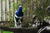 stock photo of indian blue  - The beautiful Indian Blue Pied Male Peacock - JPG