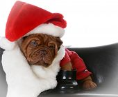 stock photo of dogue de bordeaux  - christmas puppy  - JPG