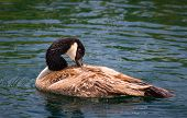 image of canada goose  - Wild Canada Goose in placid blue water. ** Note: Visible grain at 100%, best at smaller sizes - JPG