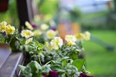 stock photo of petunia  - vibrant petunias hanging outside on wooden fence