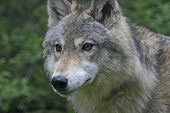 image of north american gray wolf  - close - JPG