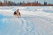 Walk With Crazy Pets. Siberian Husky Playing On Winter Walk. Husky Dogs Bite And Push In Snow. poster