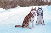 Walk With Husky Dogs. Siberian Husky Sitting On Snowy Road. Two Husky Dogs In Winter Forest. poster